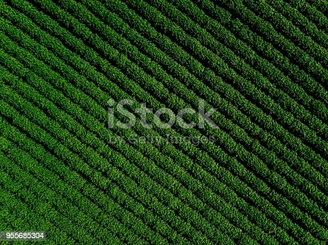 istock Green country field of potato with row lines, top view, aerial photo 955685304