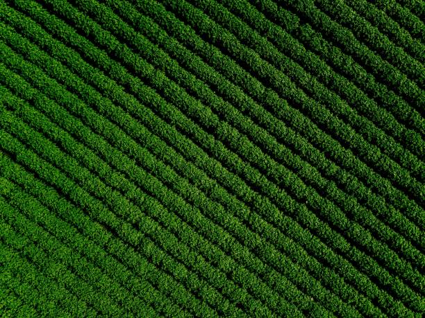 Green country field of potato with row lines, top view, aerial photo Green country field of potato with row lines, top view, aerial drone photo cultivated land stock pictures, royalty-free photos & images