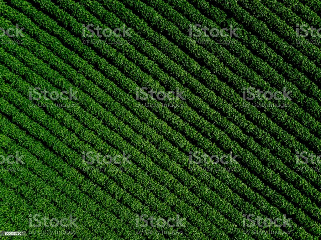 Green country field of potato with row lines, top view, aerial photo stock photo
