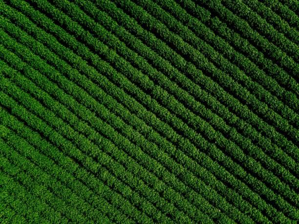 grünes land bereich der kartoffel mit zeile linien, draufsicht, luftaufnahme - plantage stock-fotos und bilder