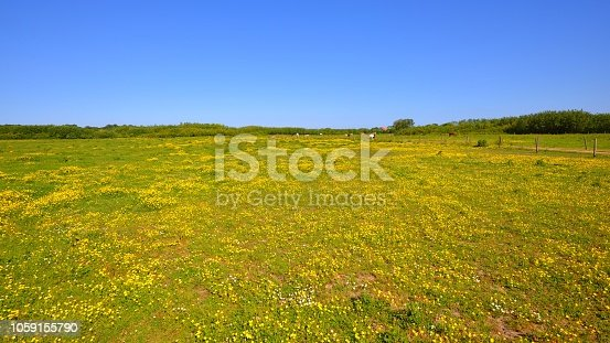 Green countryside field with yellow flowers on a sunny summer day