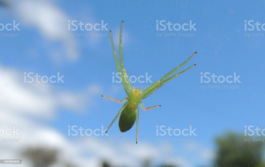 Green crab spider clinging to glass stock photo