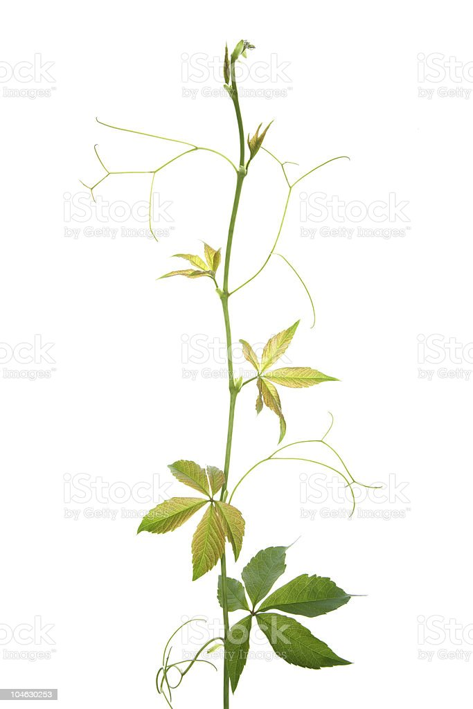 green creeper plant on white royalty-free stock photo