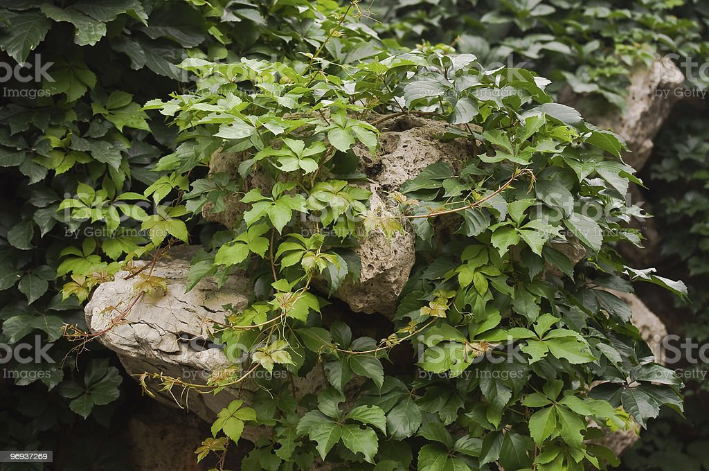 Green Creepers over natural rocks royalty-free stock photo
