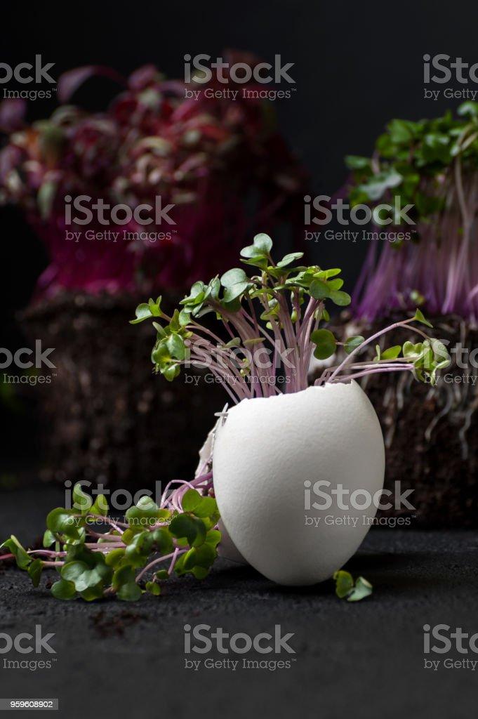 Una ensalada de berro crece en una cáscara de huevo en un fondo negro. - Foto de stock de Agrietado libre de derechos