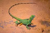 Green crested basilisk lizard - helmeted lizard