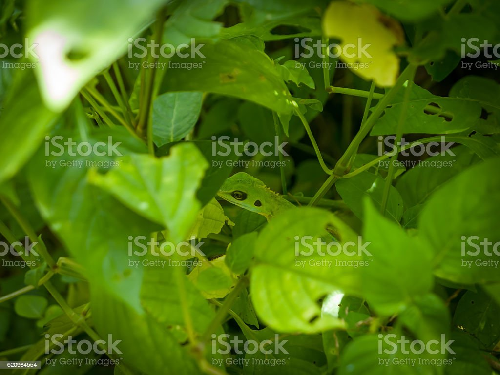 Green crested lizard Bronchocela cristatella hunting the insects foto royalty-free