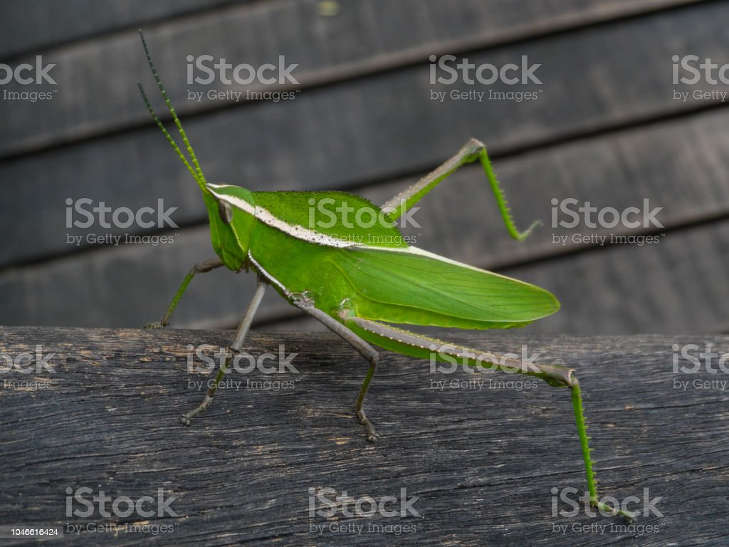 Green cricket - Hope stock photo