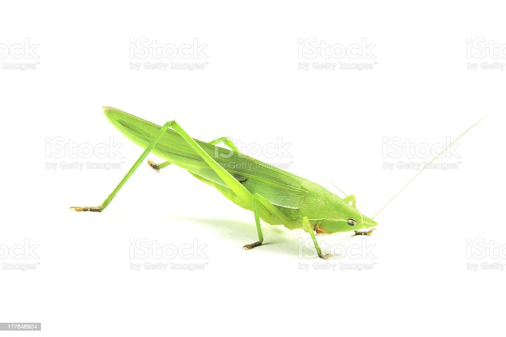 green cricket royalty-free stock photo