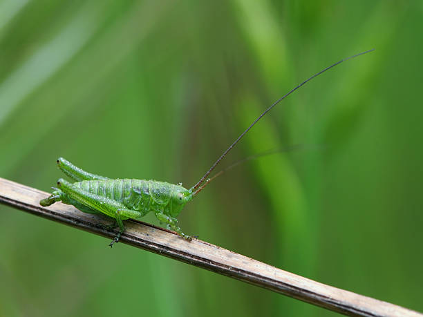 green cricket - locust swarm stockfoto's en -beelden