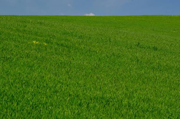green crop field – zdjęcie