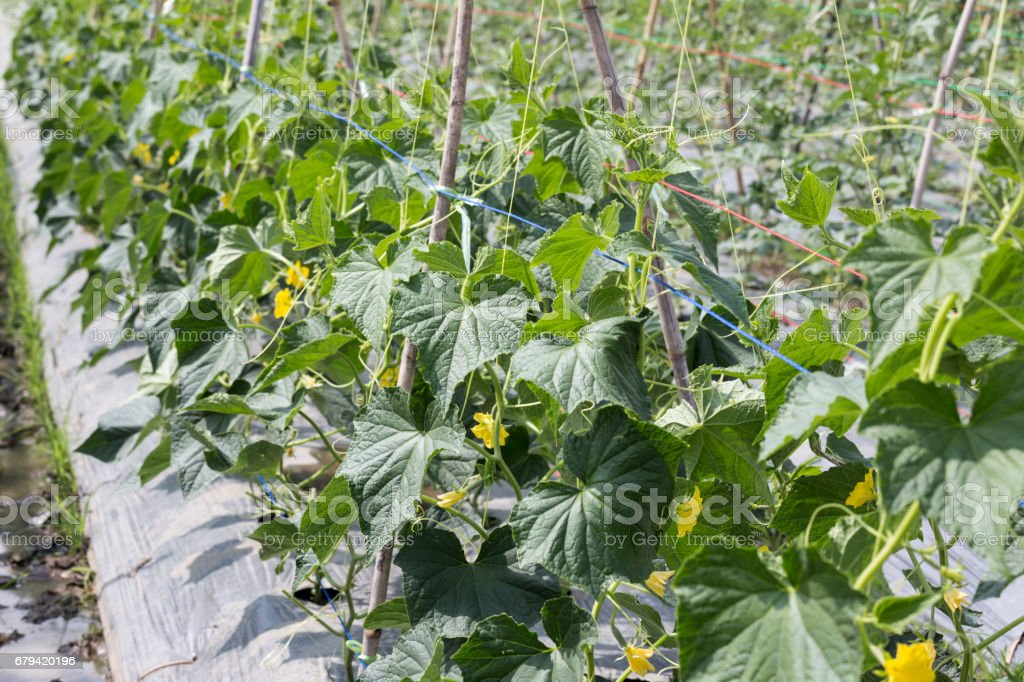 green cucumber plant growing in the field royalty-free stock photo