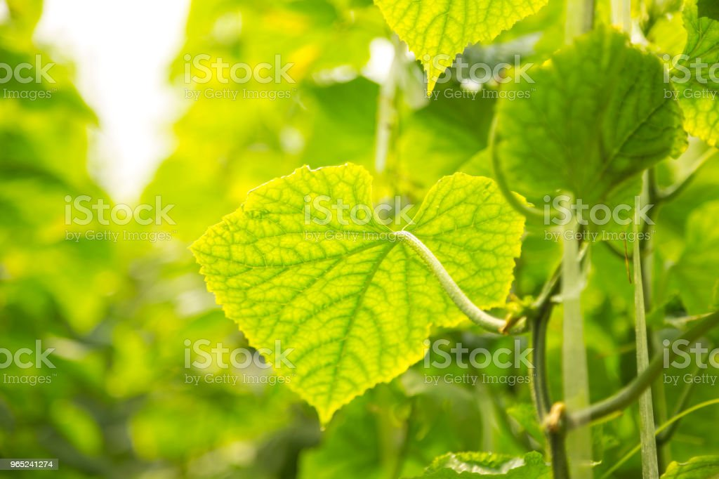 Green cucumbers on the branch royalty-free stock photo
