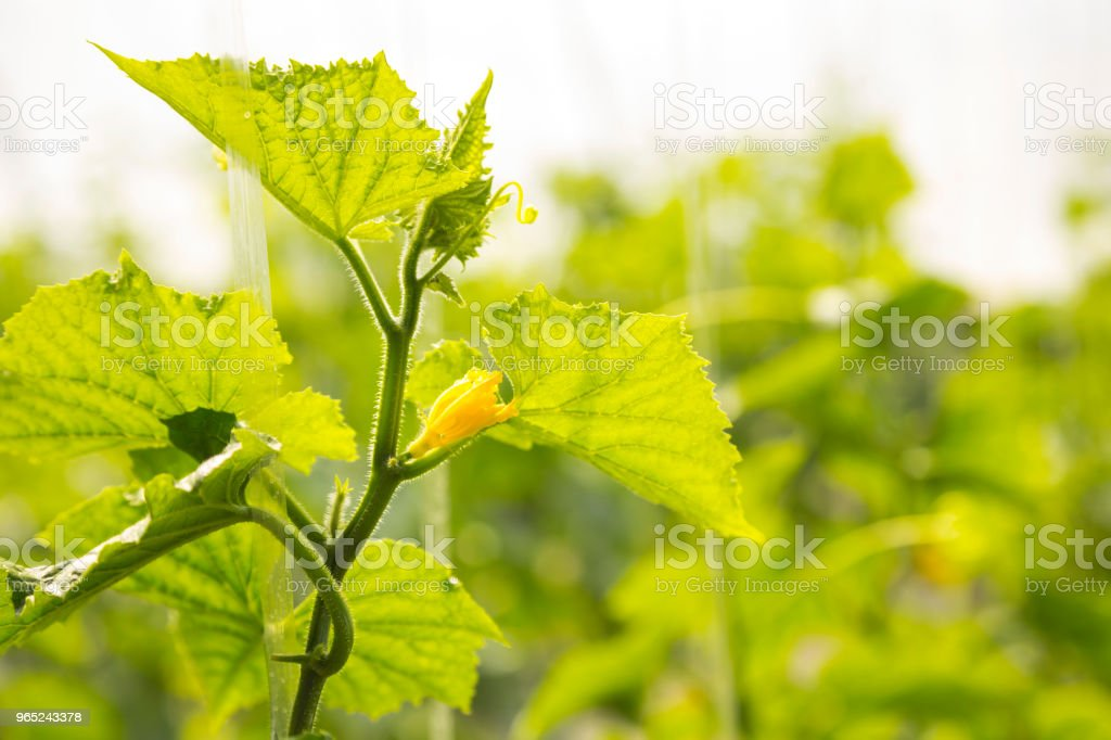 Green cucumbers on the branch zbiór zdjęć royalty-free
