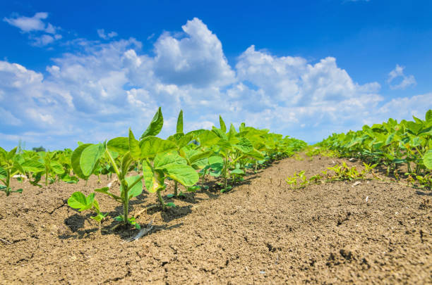 Green cultivated soy plant field