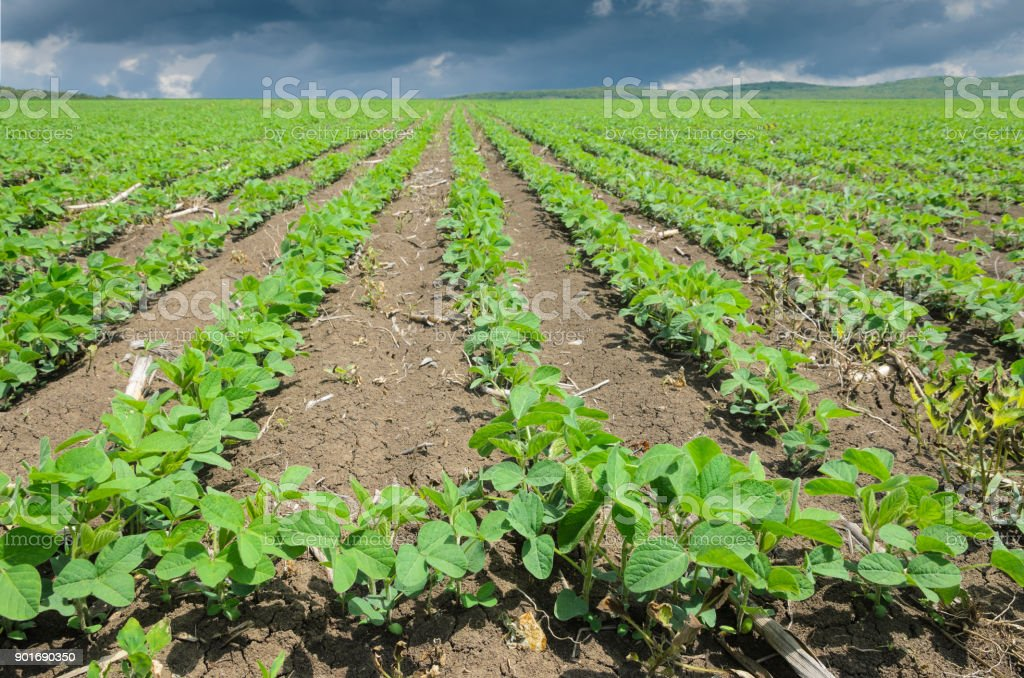 Green cultivated soy plant field,close up stock photo