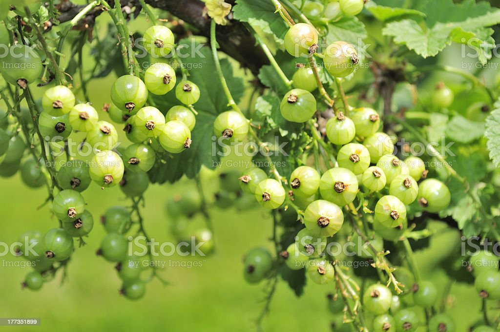 Green Currants Growing on Shrub royalty-free stock photo