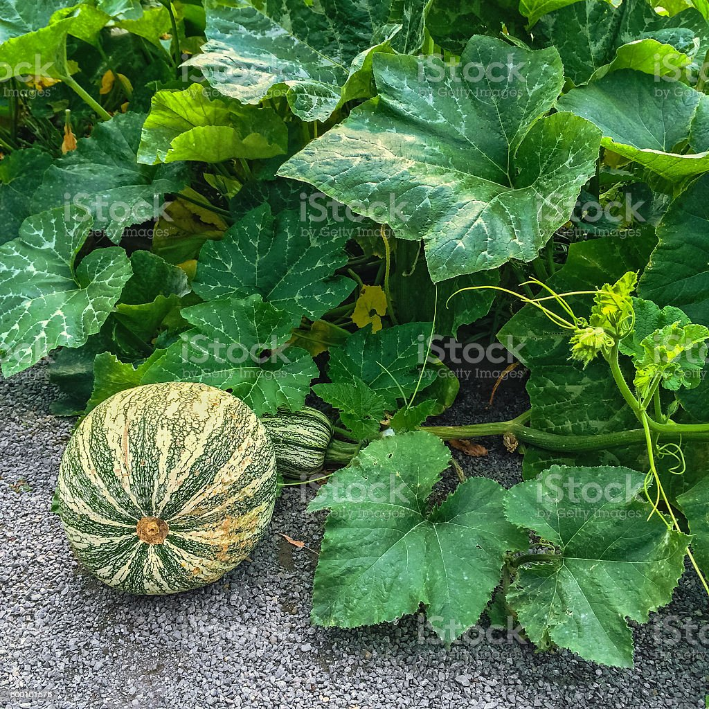 Green Cushaw squash in autumn garden stock photo