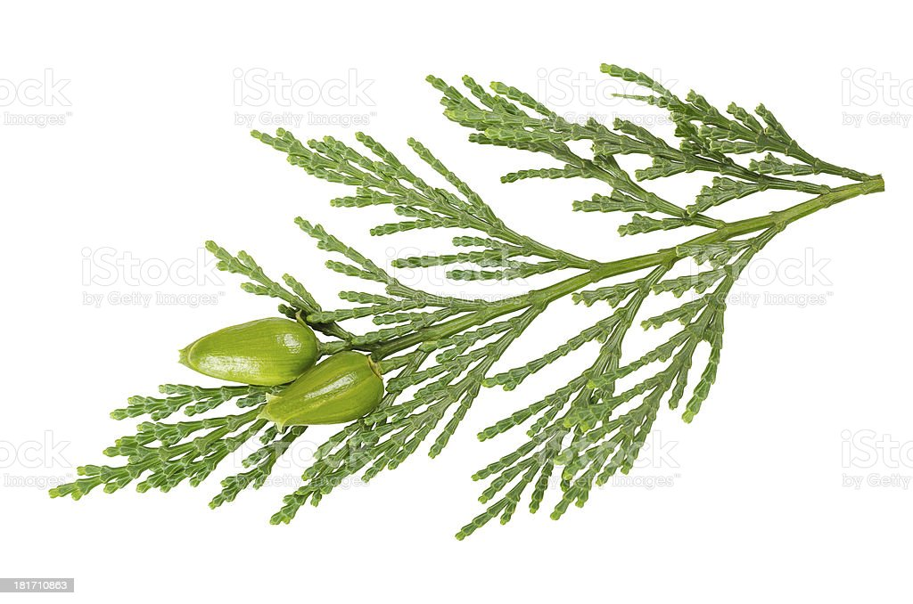 Green cypress stock photo image stock photo