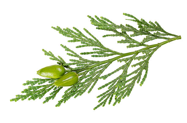 green cypress stock photo image - cypress tree stock photos and pictures