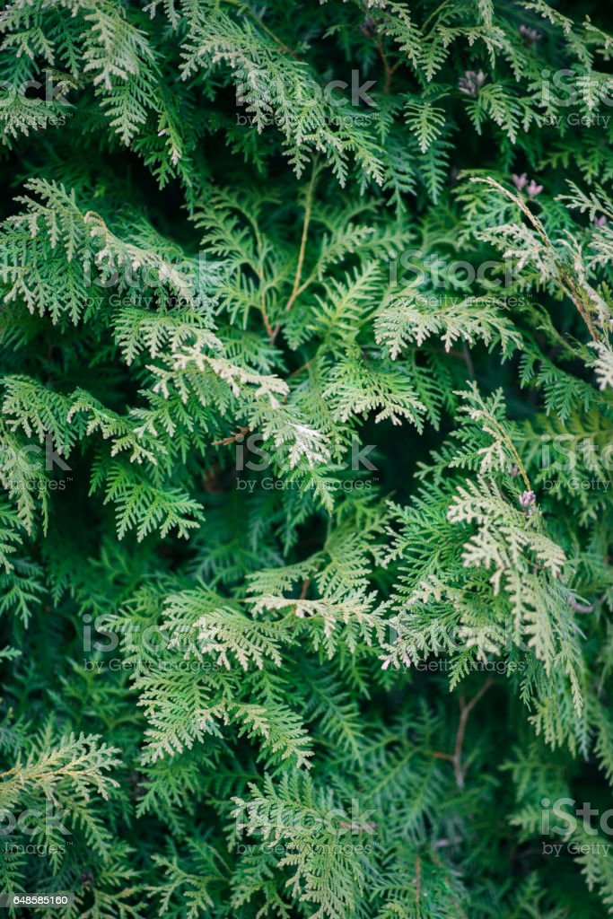 Green cypress tree close-up, soft focus, background stock photo