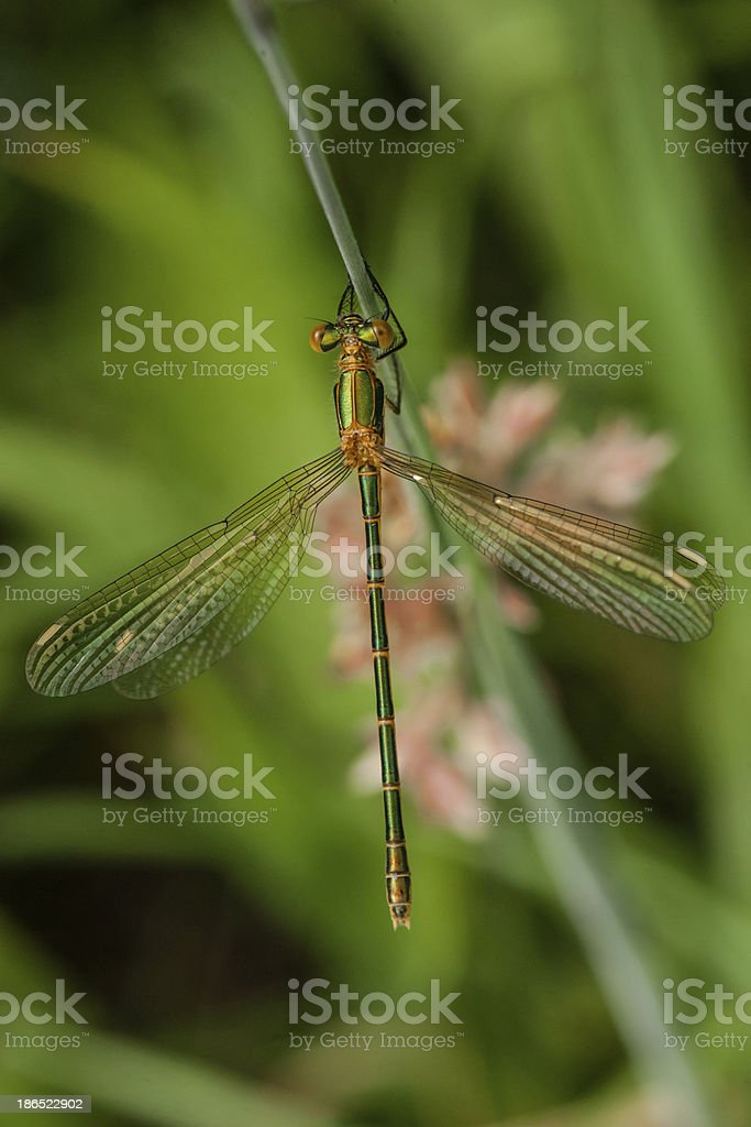 Green damselfly royalty-free stock photo