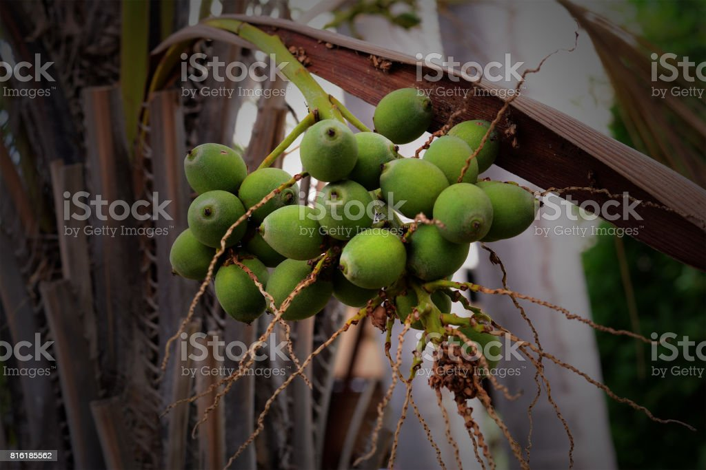 green date palm on tree stock photo