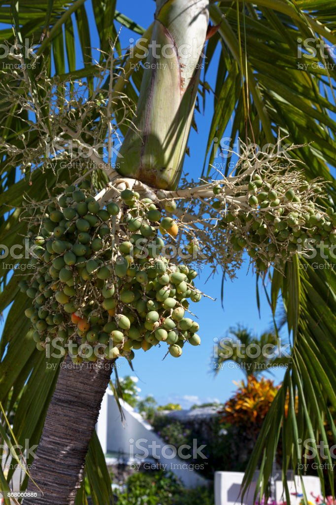 Green dates of a Royal Palm tree stock photo