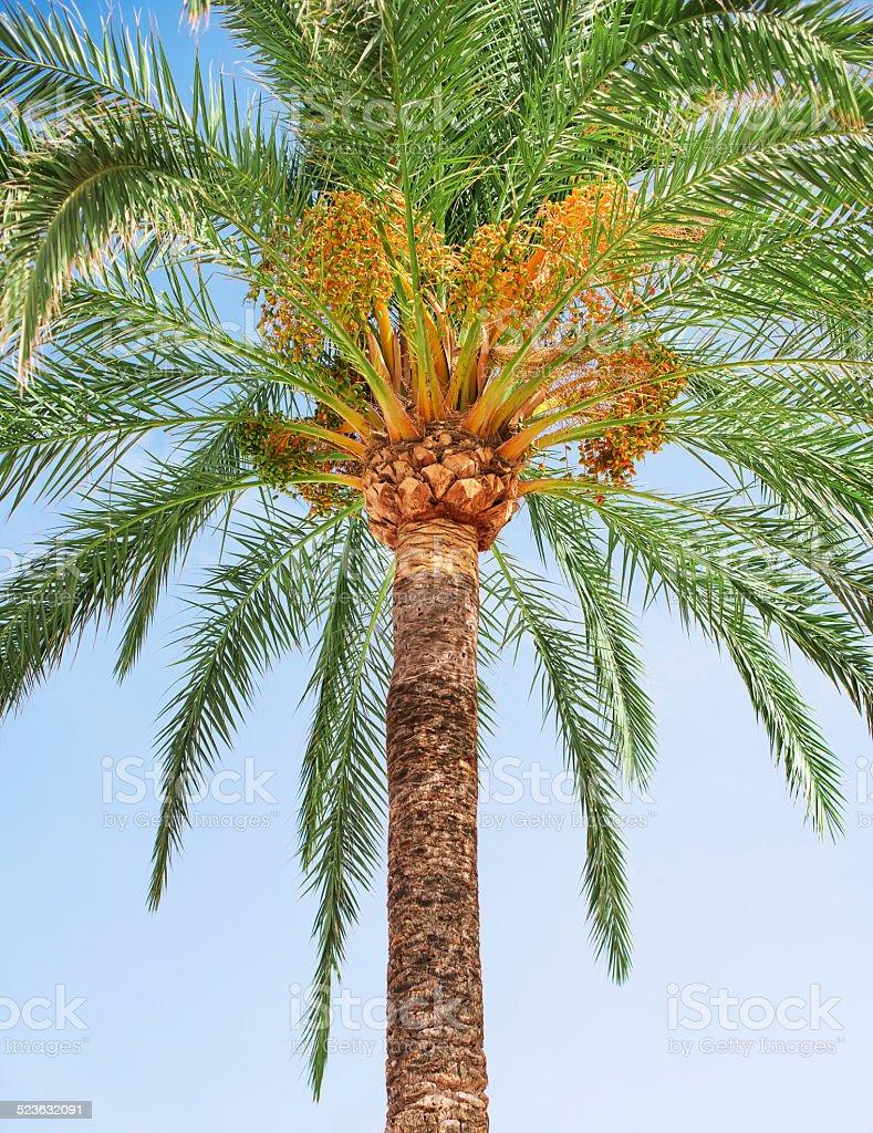 Green dates on palm tree. stock photo