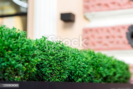 green deciduous bushes growing in a flowerpot near the facade of the building, close up of green urban plantings.