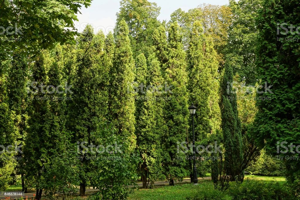 green decorative coniferous trees and street lamp in the city park stock photo