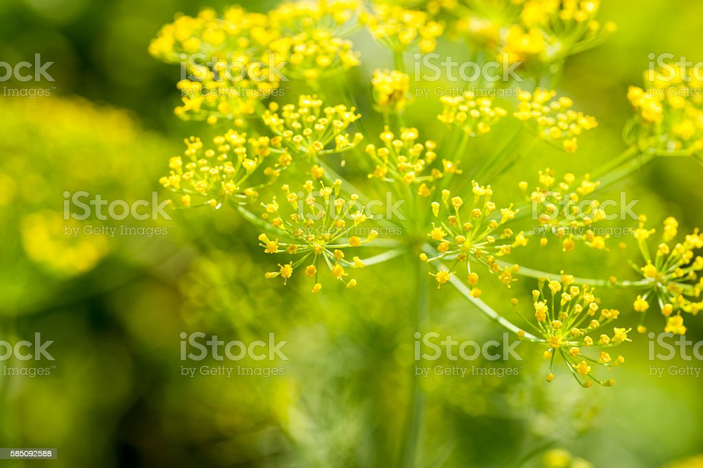 Green Dill Fennel Flower stock photo