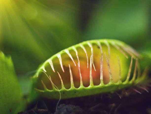 Green Dionaea muscipula , known as flytrap, in closeup stock photo