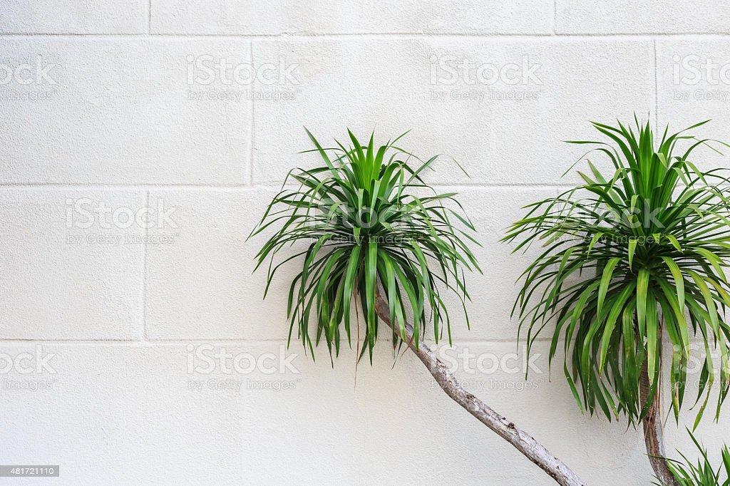 Green dracaena plant on white white cement wall stock photo