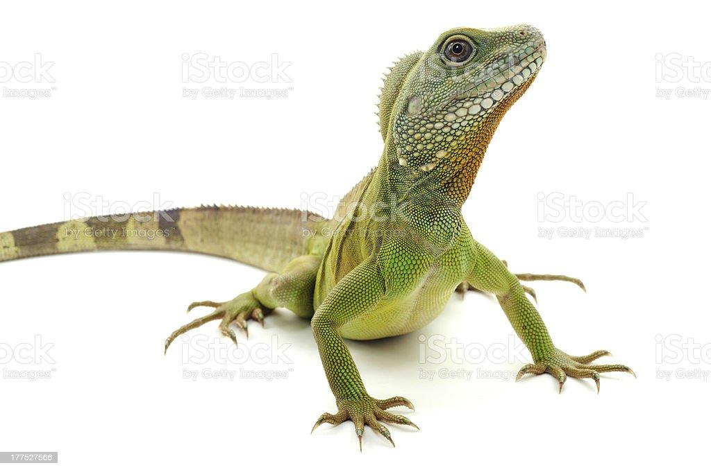 Green dragon on a white background stock photo