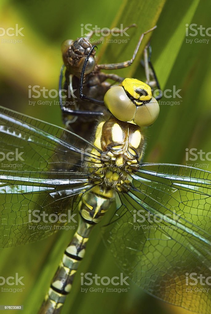 Green dragonfly and nymph close-up royalty-free stock photo
