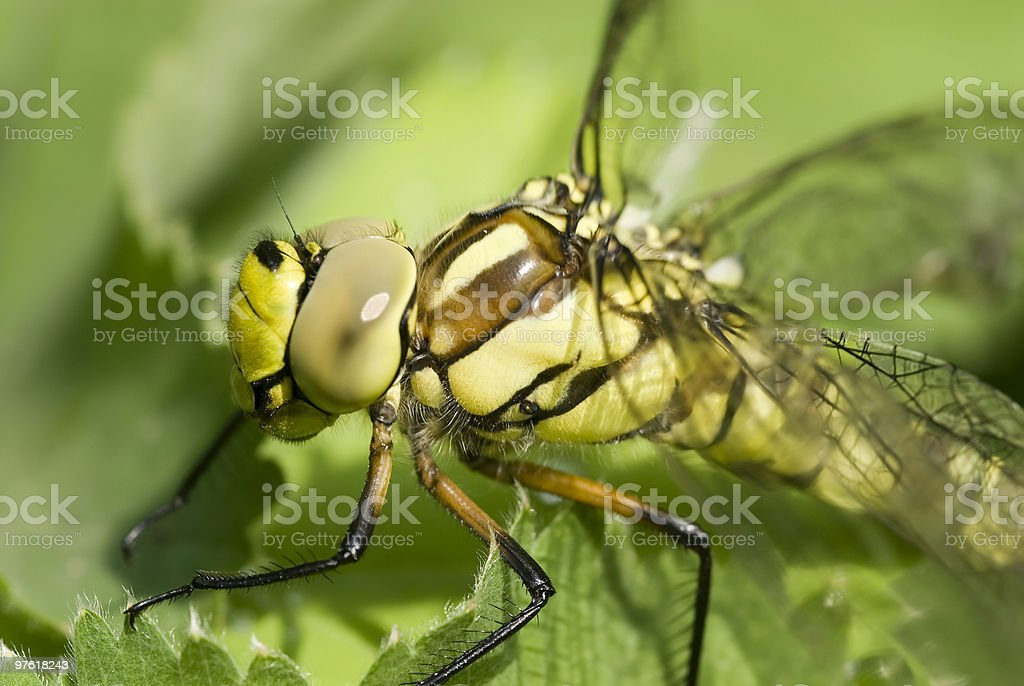 Green dragonfly on leave close-up royaltyfri bildbanksbilder