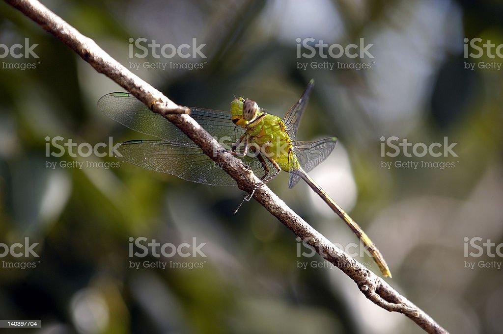 Green Dragonfly stock photo