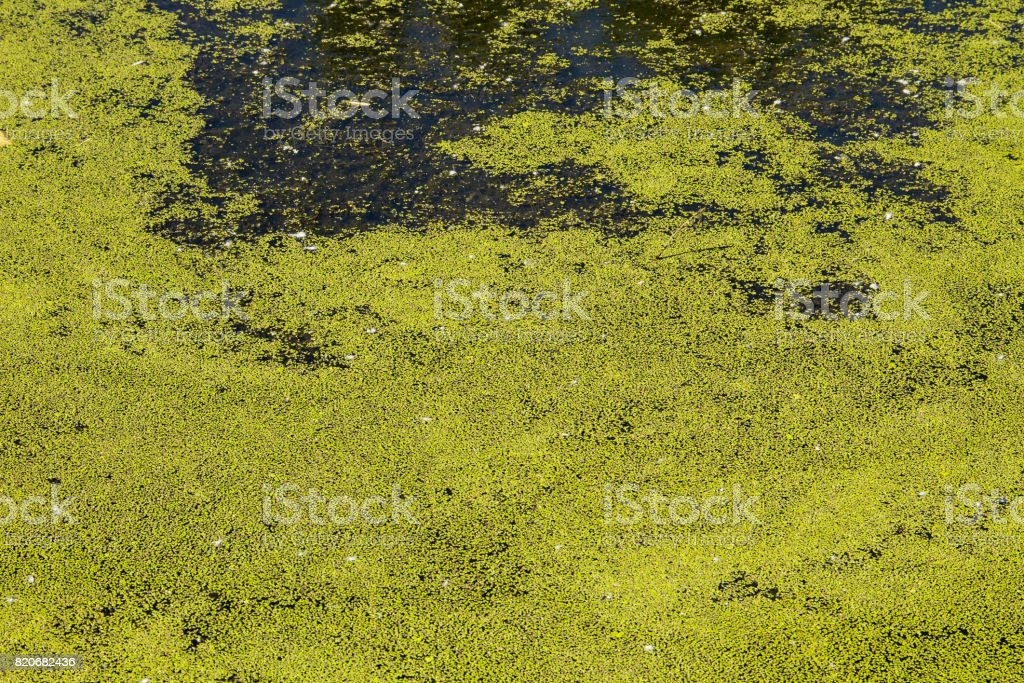 Green duckweed on the water surface stock photo