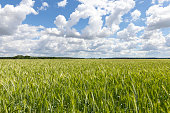 photographed agricultural field with green ears of cereals. In the background a blue sky with white clouds