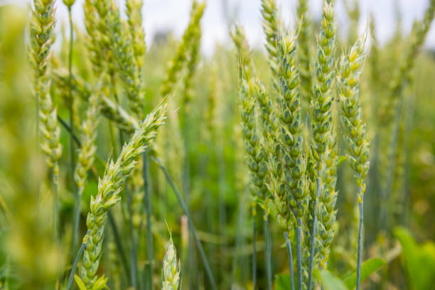Green ears of wheat in the field stock photo