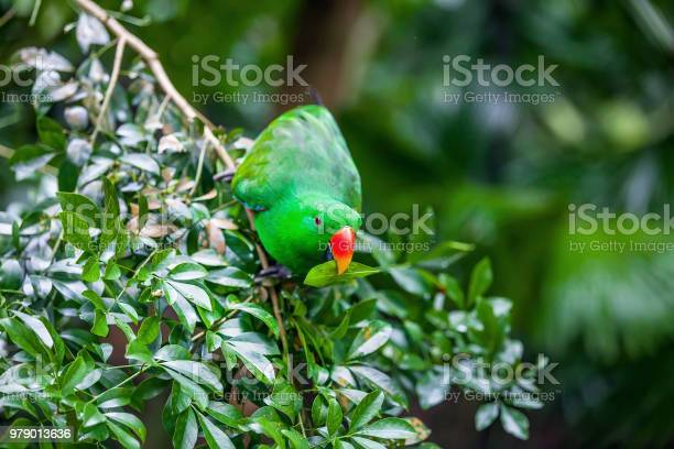 Green eclectus parrot sitting on branch