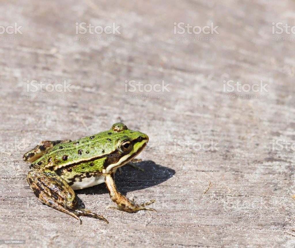 Green, eetbare kikker (Rana esculenta synkl.) Jonge foto