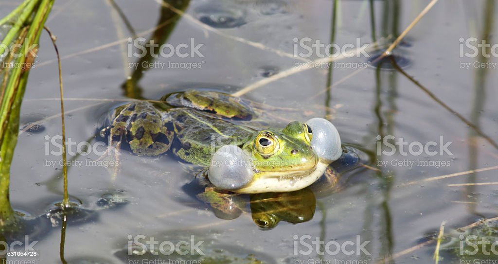 Green, Edible Frog (Rana esculenta synkl.) Male calling foto