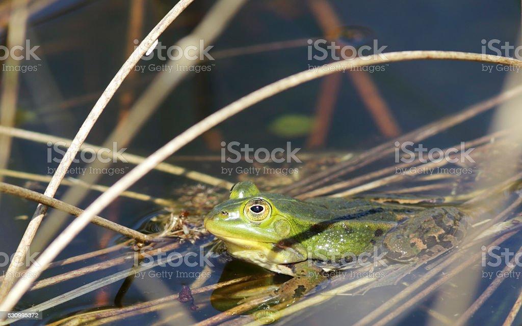Green, Edible Frog (Rana esculenta synkl.) foto
