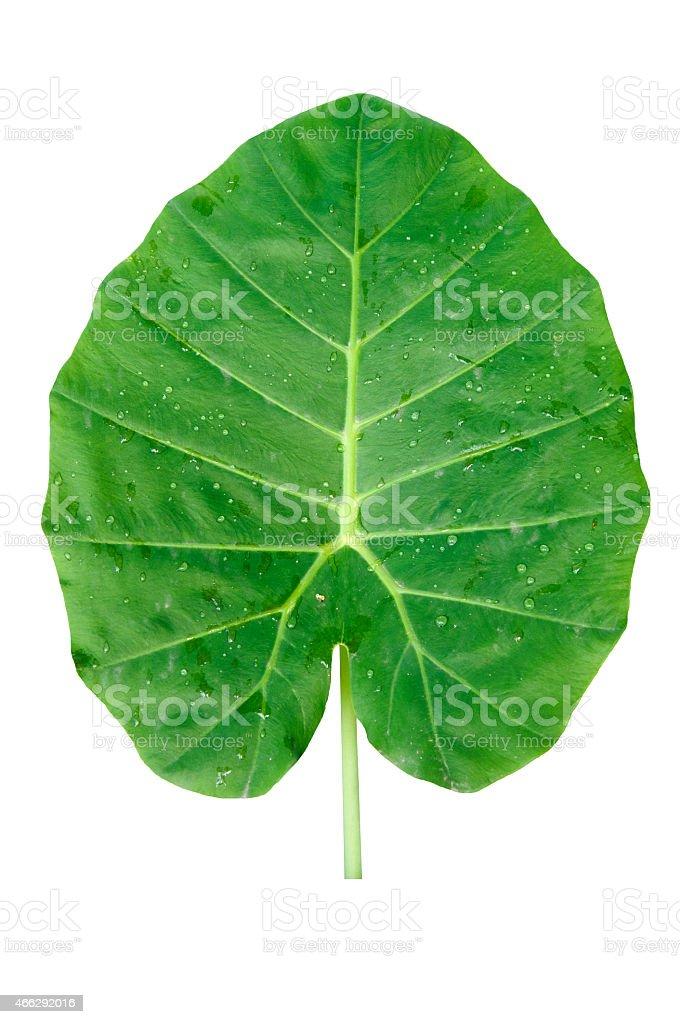 Green Elephant Ear Leaf isolate on white background stock photo