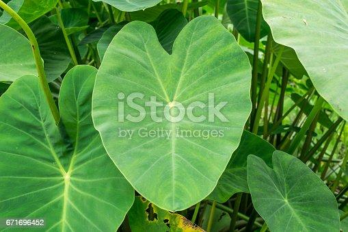 green elephant ear plant leaf (colocasia)