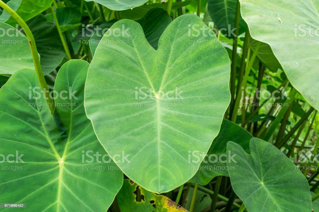 green elephant ear plant leaf (colocasia) stock photo