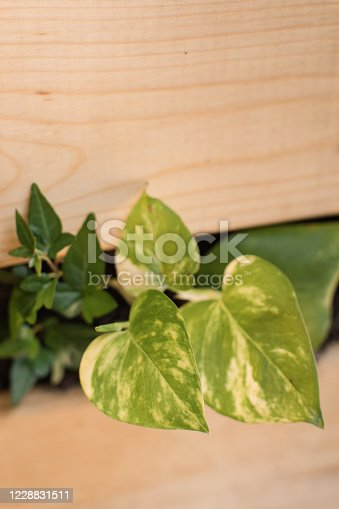 Lush green plants. English Ivy & pothos in a wooden box.
