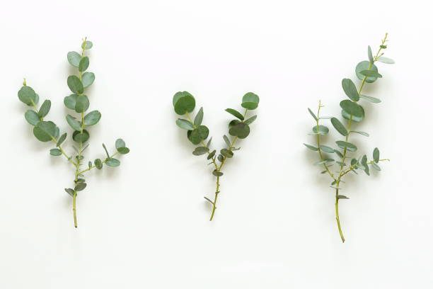 green eucalyptus branches on a white background.abstract. top view stock photo